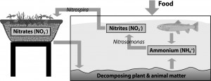 Aquaponics Nitrogen Cycle